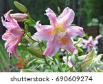 Double Oriental Lily