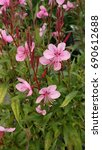 Small photo of Pink flowers of Gaura plant amongst green leaves, red flower buds, dark purple steams