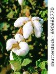 cotton | Shutterstock . vector #690662770