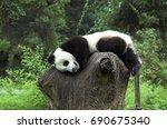 wolong china  giant panda... | Shutterstock . vector #690675340