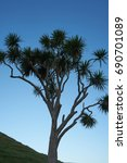 Large Mature Cabbage Tree...