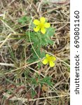 Small photo of Hoary Cinquefoil (Potentilla argentea) in bloom in the meadow