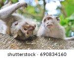 two monkeys  one is upside down ... | Shutterstock . vector #690834160