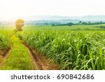 sugarcane field at sunset. | Shutterstock . vector #690842686