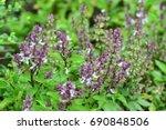 Sweet Basil  Ocimum Basilicum   ...