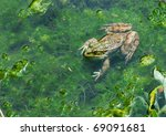 Animal world, frog in swamp, looking around - stock photo