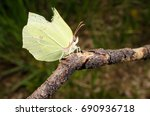 Brimstone Butterfly With...