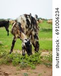 Small photo of Kutchi Goat (Capra aegagrus hircus)