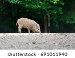small wild boar in the forest... | Shutterstock . vector #691011940