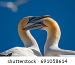 two gannets  one heart. gannet... | Shutterstock . vector #691058614