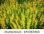 High Yellow Flowers Lysimachia...