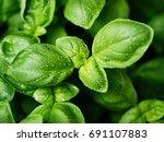 Fresh Basil Leaves. Basil Plan...
