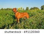 Beautiful Dog Rhodesian...