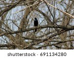Common Grackle In Trees