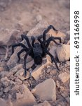 black california tarantula in... | Shutterstock . vector #691166998