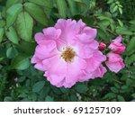 pink flower | Shutterstock . vector #691257109