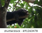 an adult black howler monkey on ... | Shutterstock . vector #691263478
