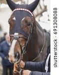 race horse head ready to run.... | Shutterstock . vector #691308088