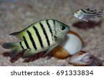Small photo of Bengal Sergeant,Narrow-banded Sergeant,Palmer's Damsel-fish, Abudefduf bengalensis. A sergeant major with six or seven narrow black bands on the body and distinctly rounded caudal fin lobes