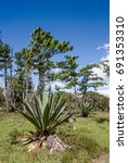 Small photo of Blue Agave (Agave tequilana) Nicaragua