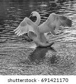 Mute Swan Flapping B W Langfor...
