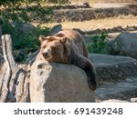 the grizzly bear also known as... | Shutterstock . vector #691439248