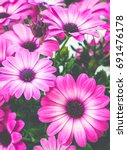 Small photo of Pink Osteospermum flowers, African daisy