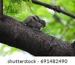 three striped palm squirrel ... | Shutterstock . vector #691482490