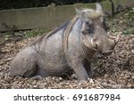a warthog in a zoo enclosure. | Shutterstock . vector #691687984