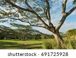 Small photo of koa trees acacia koa kauai hawaii