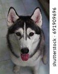 Portrait Of Siberian Husky Dog  ...