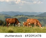 Cows On Pastures In The...
