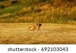 Kangal Alfa Shepherd Dog