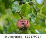 damaged apple growing on an... | Shutterstock . vector #692179714