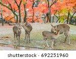 Sika Deers Roaming And Feeding...