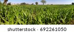 agriculture farming of maize ...   Shutterstock . vector #692261050