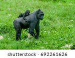 Mother Gorilla And A Cub