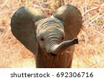 Stock photo an adorable baby african elephant with ears flapping and trunk extended in south luangwa national 692306716