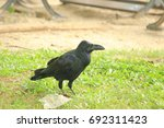 black bird. | Shutterstock . vector #692311423