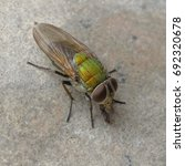 Small photo of Diptera
