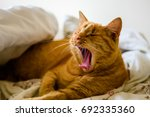 beautiful ginger cat yawn and... | Shutterstock . vector #692335360