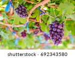 Purple Red Grapes With Green...