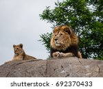 Proud Lion And Lioness