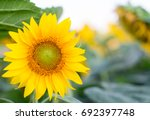 sunflowers in the sunset  ... | Shutterstock . vector #692397748