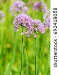 Small photo of Flower Allium rotundum - soft focus