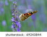painted lady   Shutterstock . vector #69243844