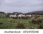 Sheep Graze On A Farm On The...
