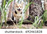 dog breed welsh corgi pembroke... | Shutterstock . vector #692461828
