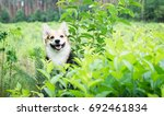 dog breed welsh corgi pembroke... | Shutterstock . vector #692461834