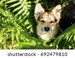 dog breed welsh corgi pembroke... | Shutterstock . vector #692479810